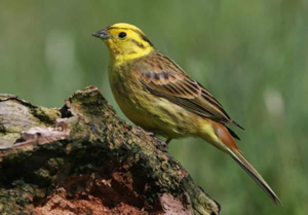 yellowhammer bto british trust for ornithology