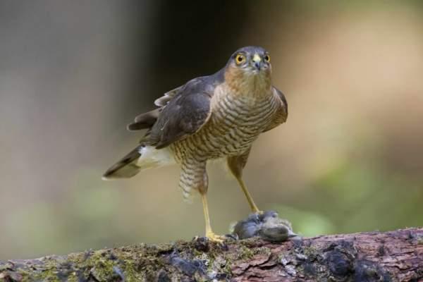 Sparrowhawk. Photograph by Edmund Fellowes