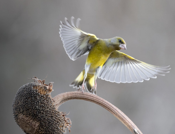 Greenfinch. Manuel@adobestock