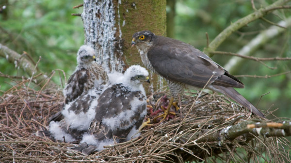 Sparrowhawk with young in nest. John Harding