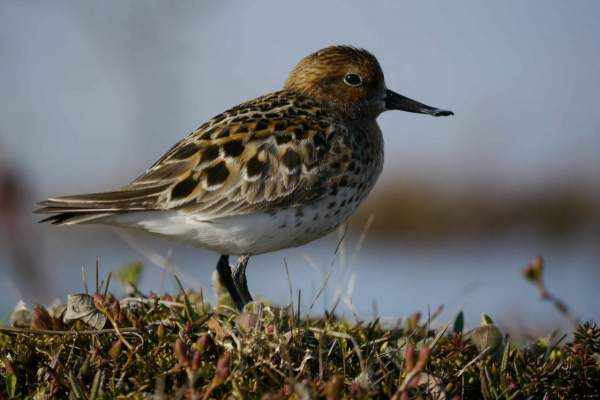 Spoon-billed Sandpiper. Photograph by MJ McGill