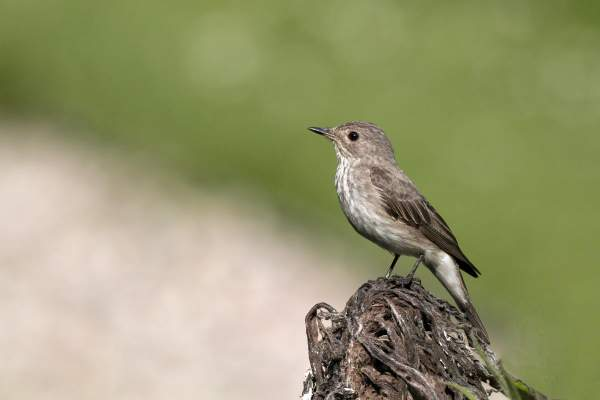 Spotted Flycatcher. Photograph by John Harding