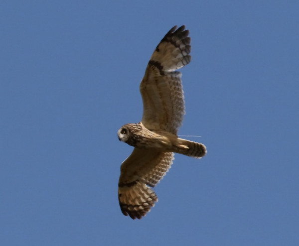 Tagged Short-eared Owl. Anne Carrington-Cotton