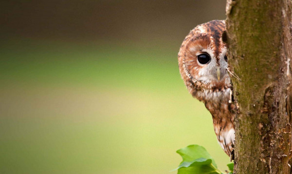 Tawny Owl. Photograph by Howard Stockdale