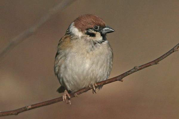 Tree Sparrow by Ron Marshall