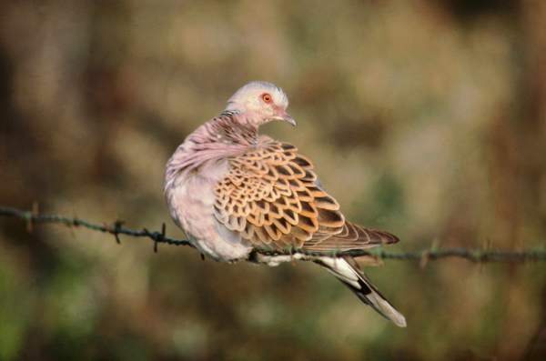 Turtle Dove by Mike Weston