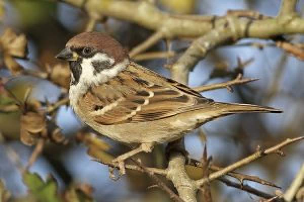Tree Sparrow. Photograph by Dennis Atherton