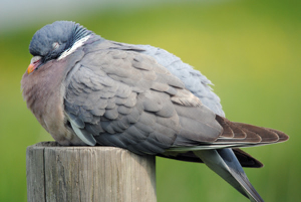 Woodpigeon. Photograph by Amy Lewis