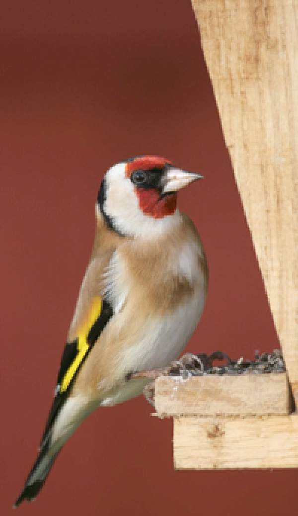 Goldfinch. Photography by John Harding