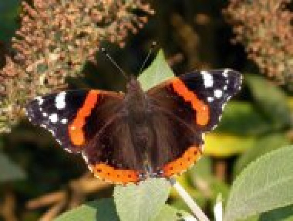 Red Admiral by John Harding