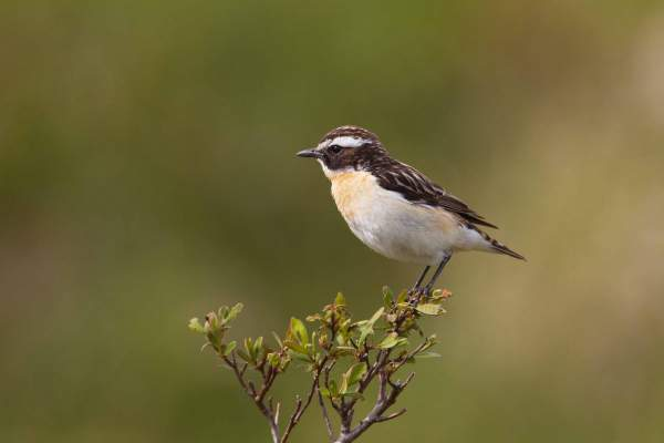 Whinchat by Edmund Fellowes