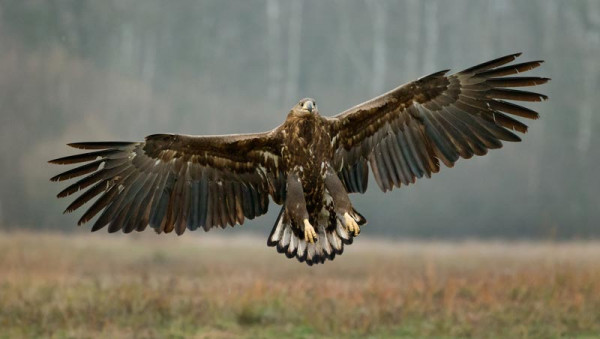 White-tailed Eagle. Edmund Fellowes