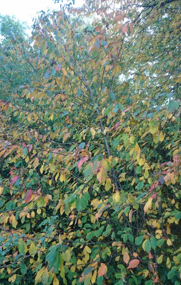Wild Service Tree, Cambridgeshire. Ailidh Barnes