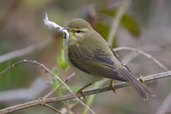 Willow Warbler, photograph by Chris Knights