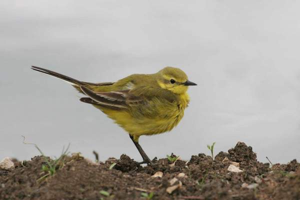 Yellow Wagtail by Jill Pakenham