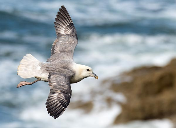 Fulmar. Philip Croft