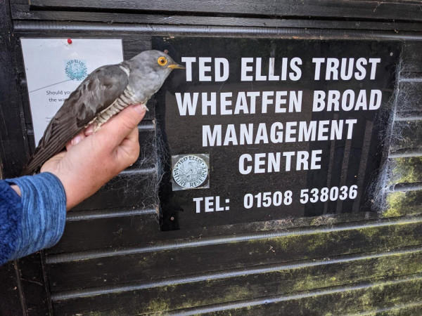 Grove the Cuckoo tagged at Ted Ellis Trust Wheatfen Broad