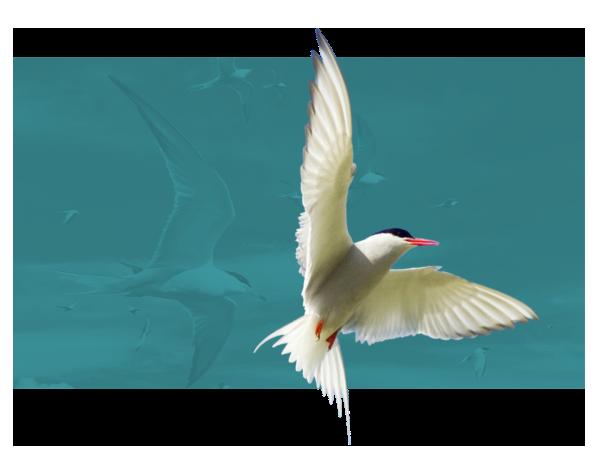 Arctic Tern. Edmund Fellowes