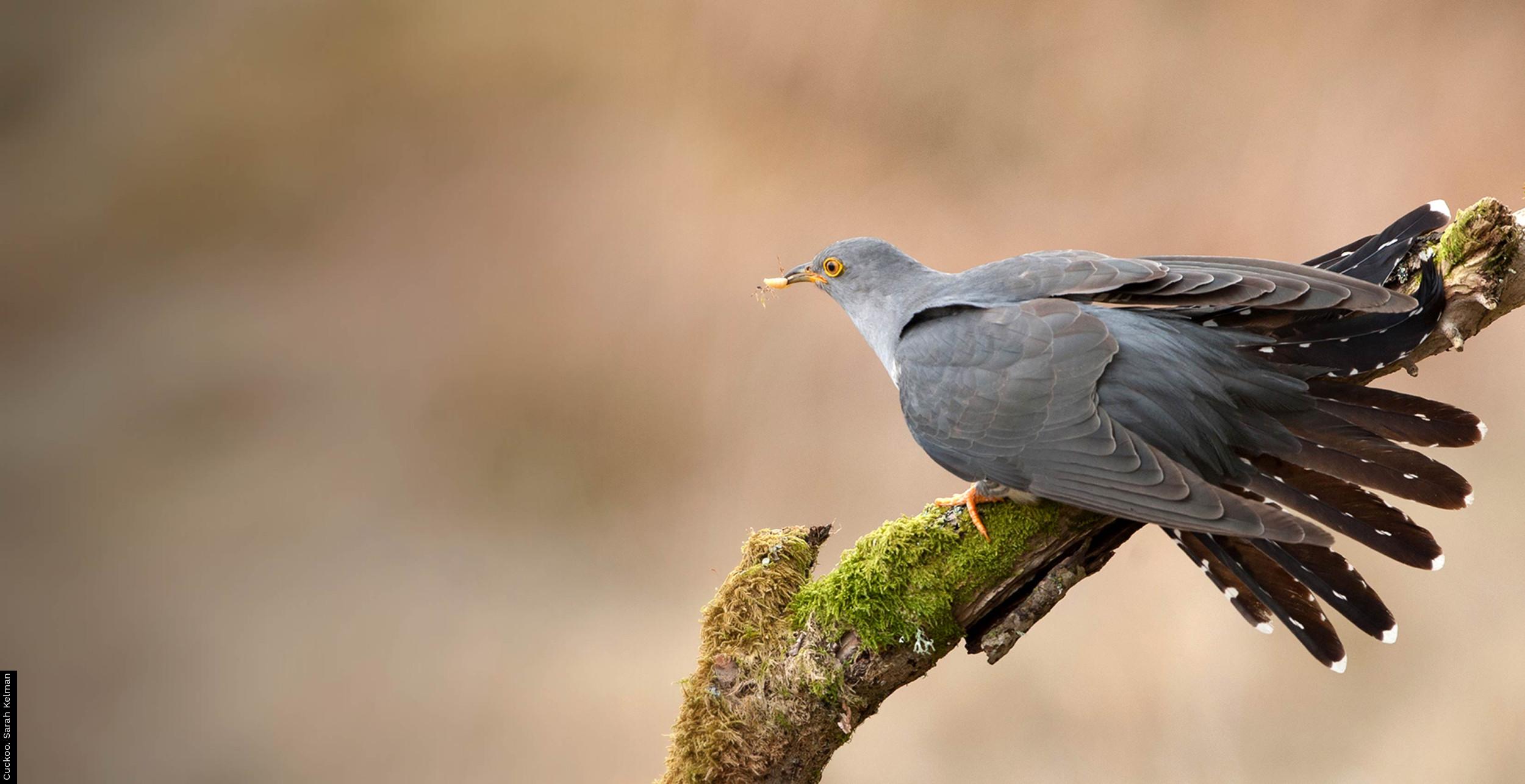 Cuckoo. Robin Lee