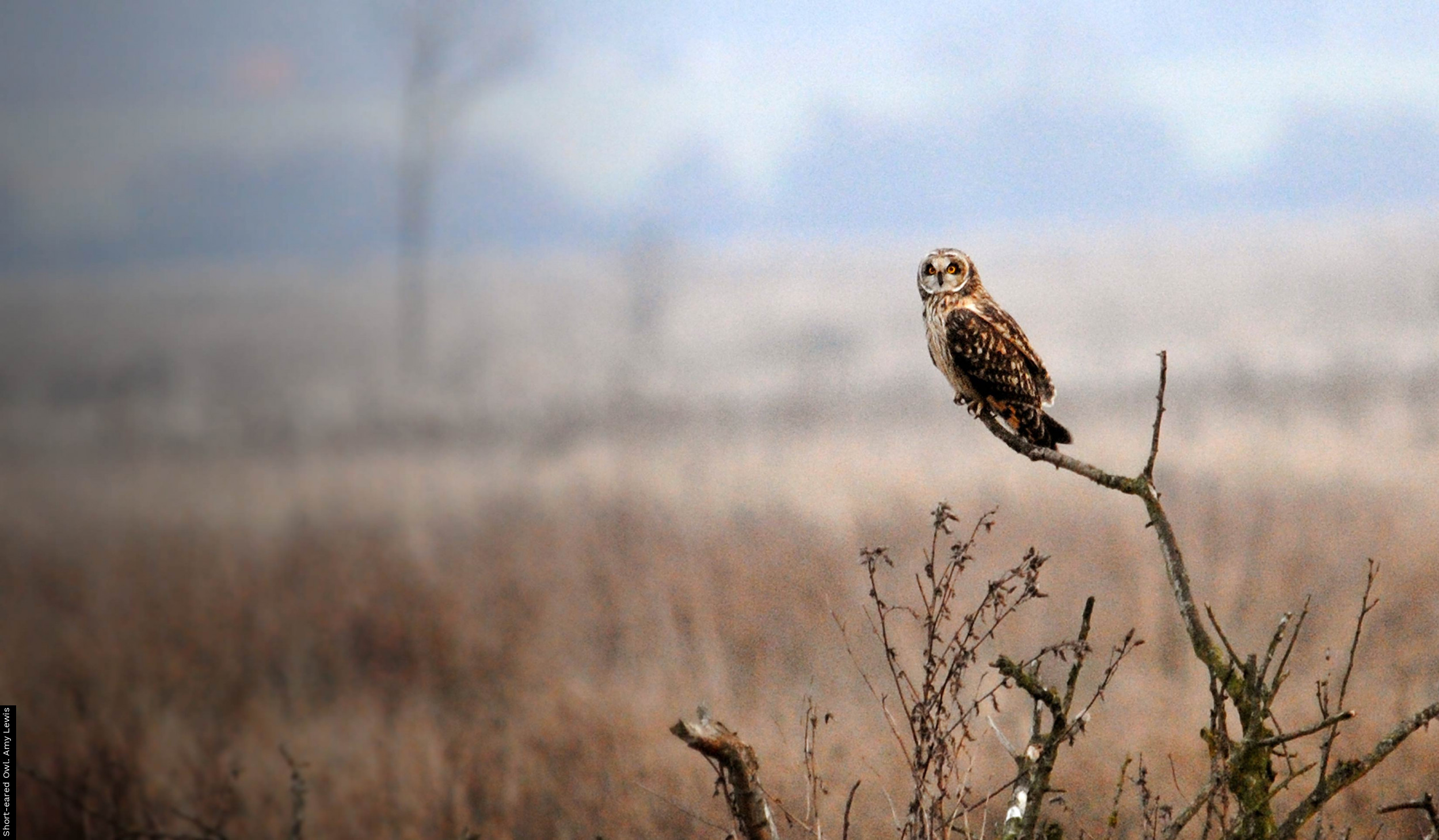 Short-eared Owl. Amy Lewis