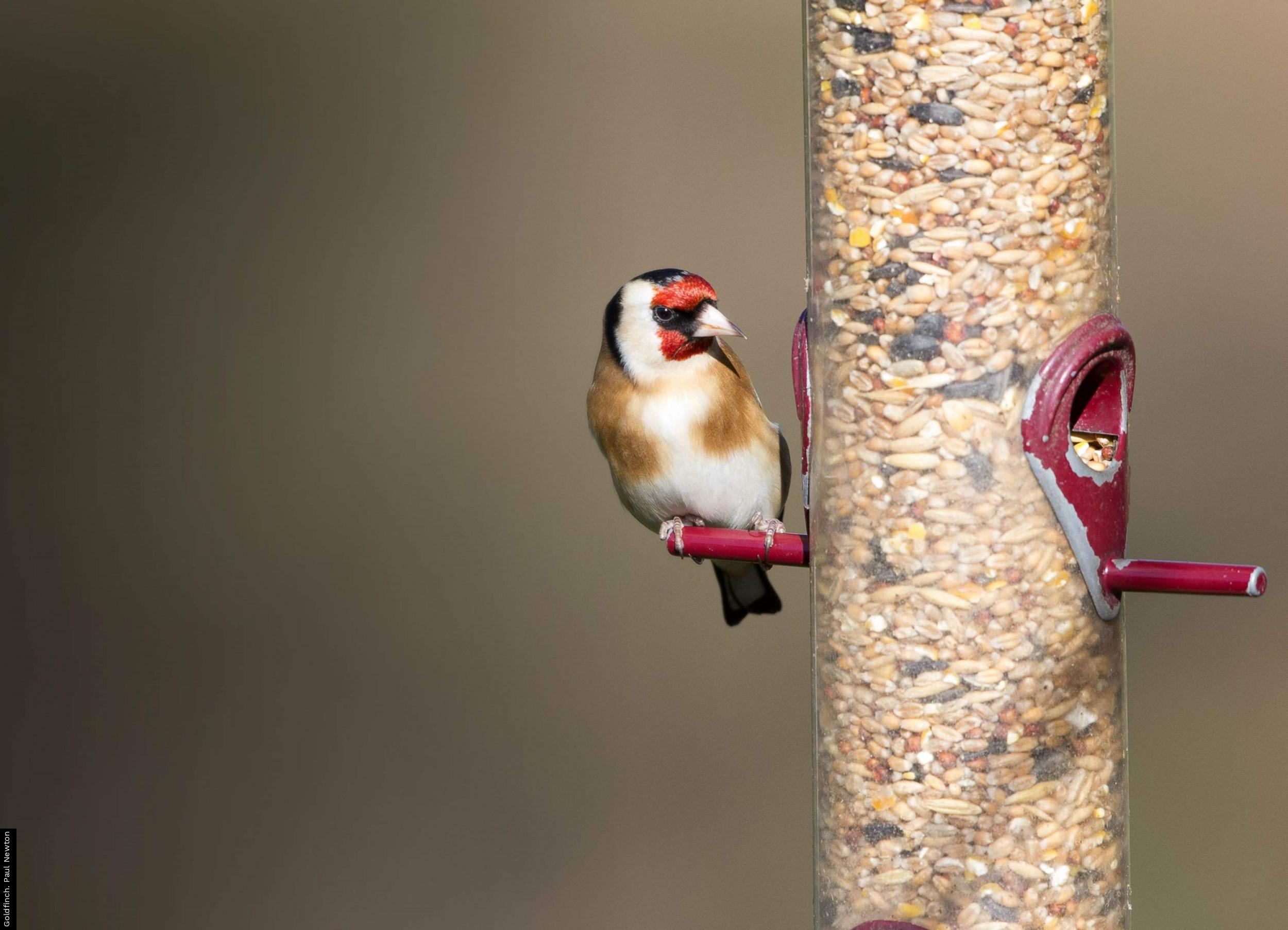 Goldfinch. Paul Newton