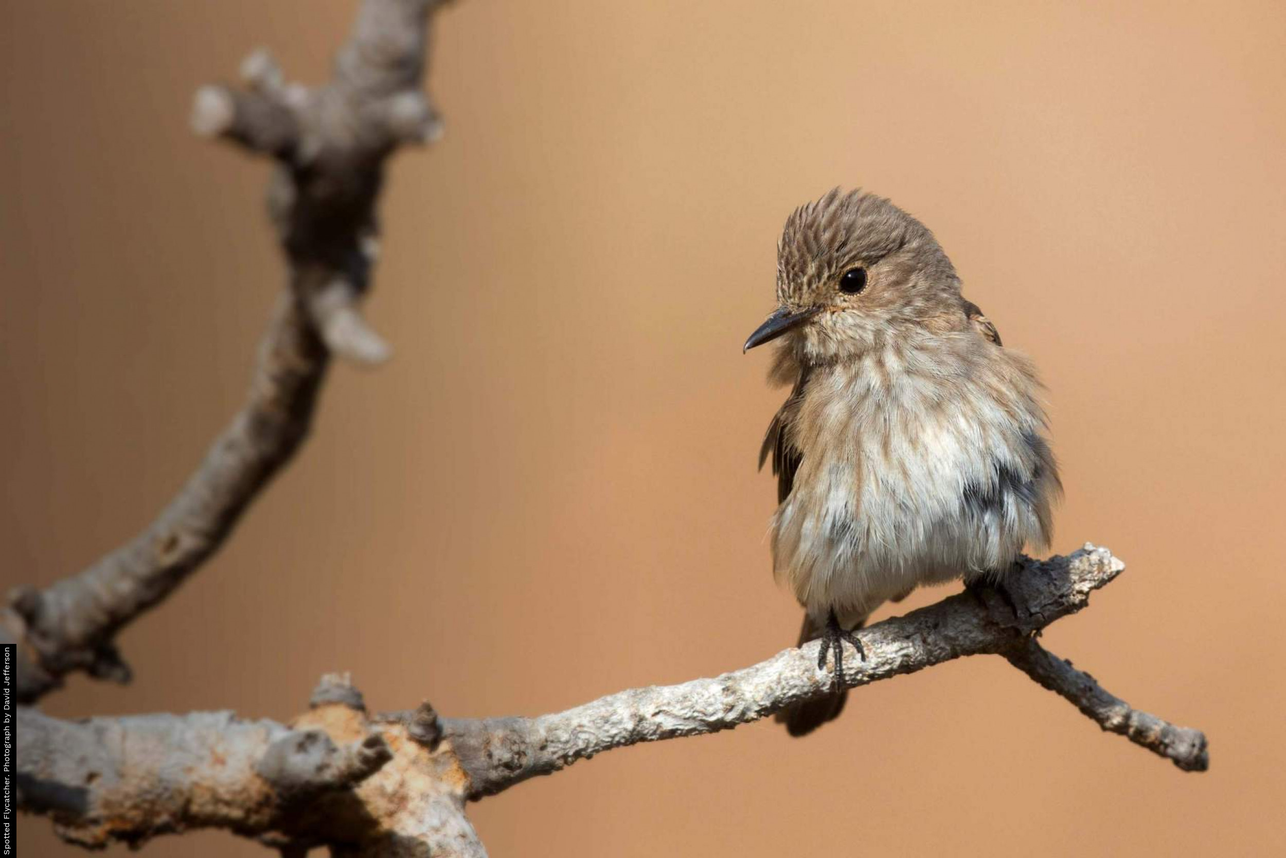 Spotted Flycatcher. Photograph by David Jefferson