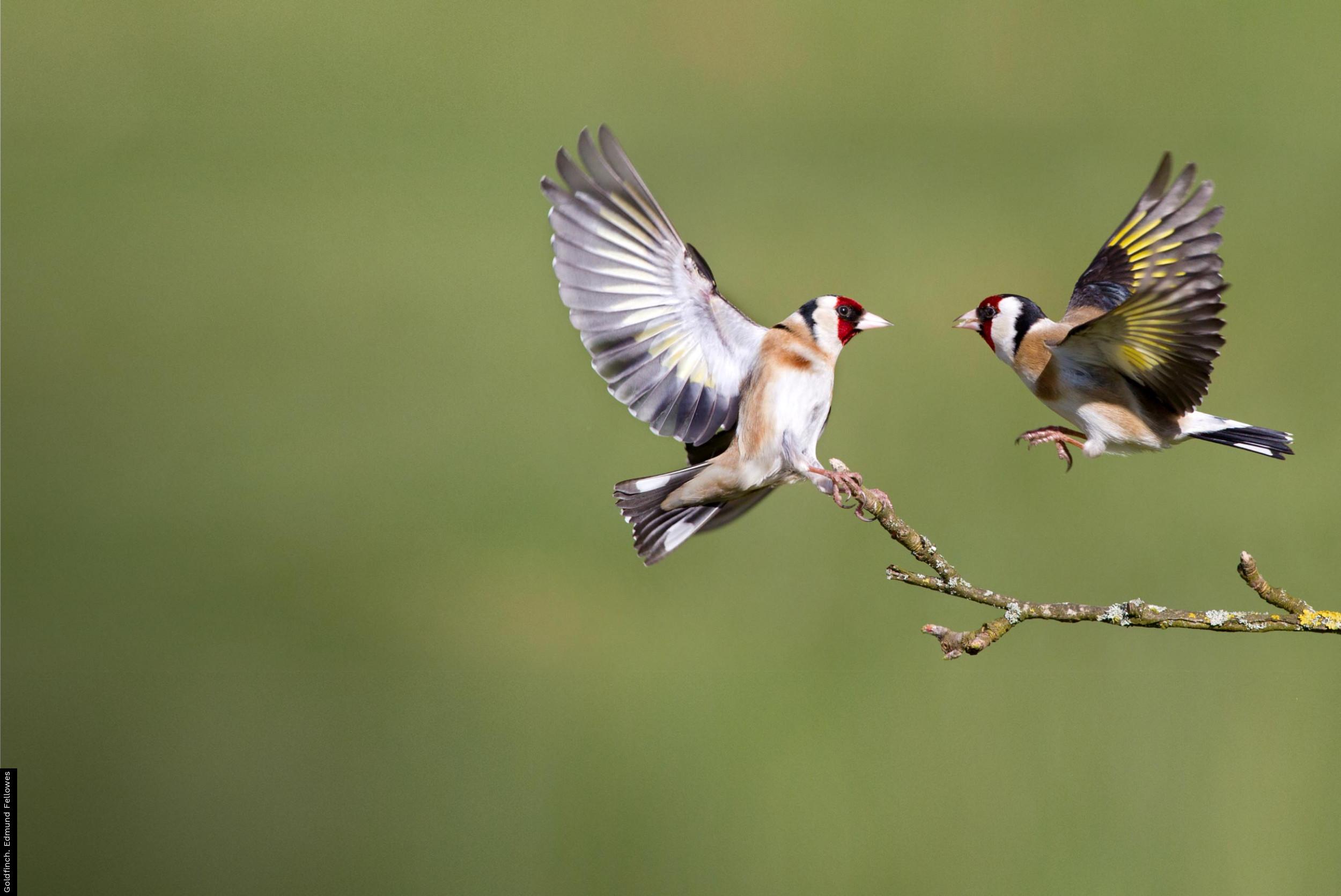 Goldfinch. Edmund Fellowes