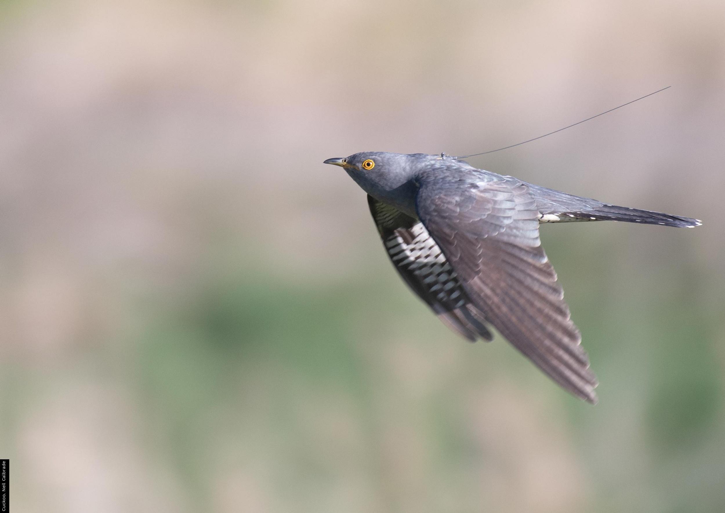 Cuckoo. Neil Calbrade
