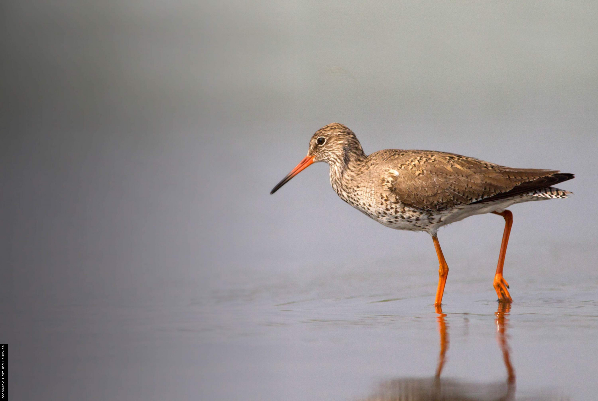 Redshank. Edmund Fellowes