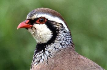 Red-legged Partridge. Photograph by Jill Pakenham
