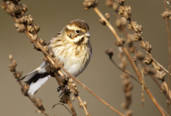 Reed Bunting. Photograph by Liz Cutting