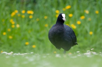 Coot. Photograph by Sarah Kelman