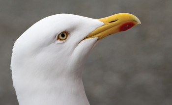 Herring Gull. Photograph by Edmund Fellowes