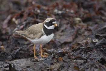 Ringed Plover. Photograph by Edmund Fellowes