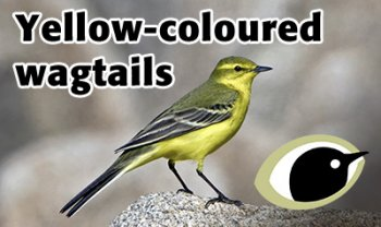 Yellow Wagtail. Photograph by Paul Hillion
