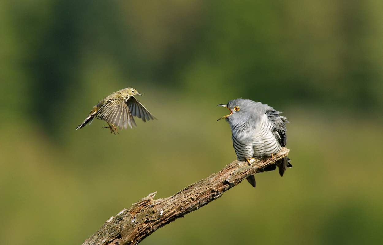 Cuckoo - Edmund Fellowes