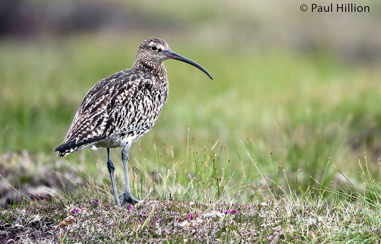 Curlew - Paul Hillion