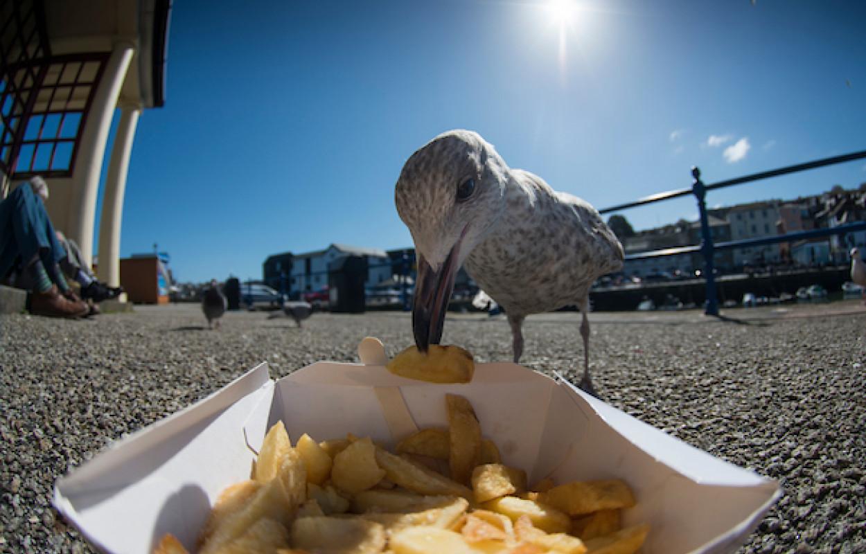 Herring Gull. Beth Arkwright