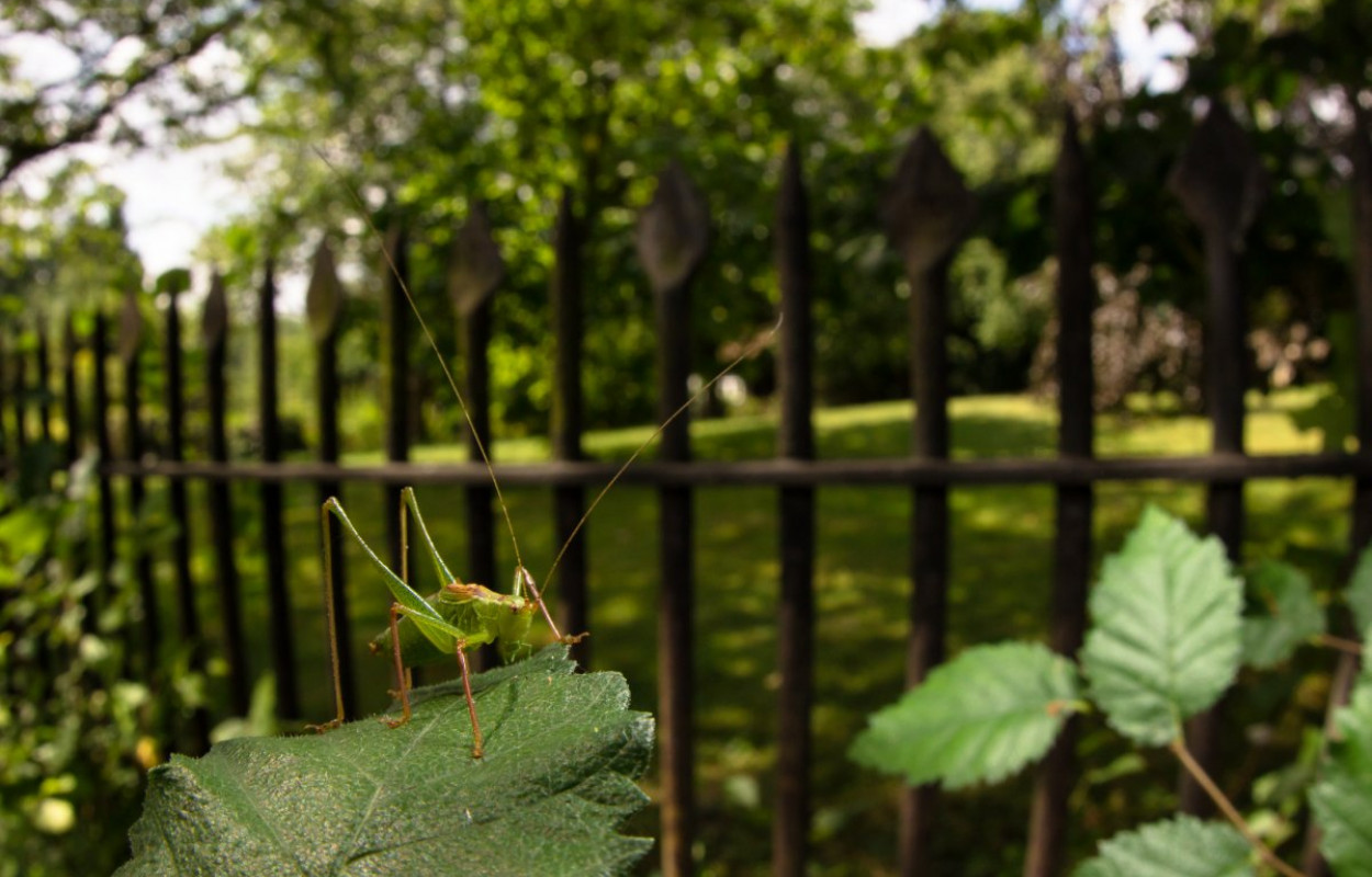 Speckled Bush-cricket, photograph by Tom Houslay