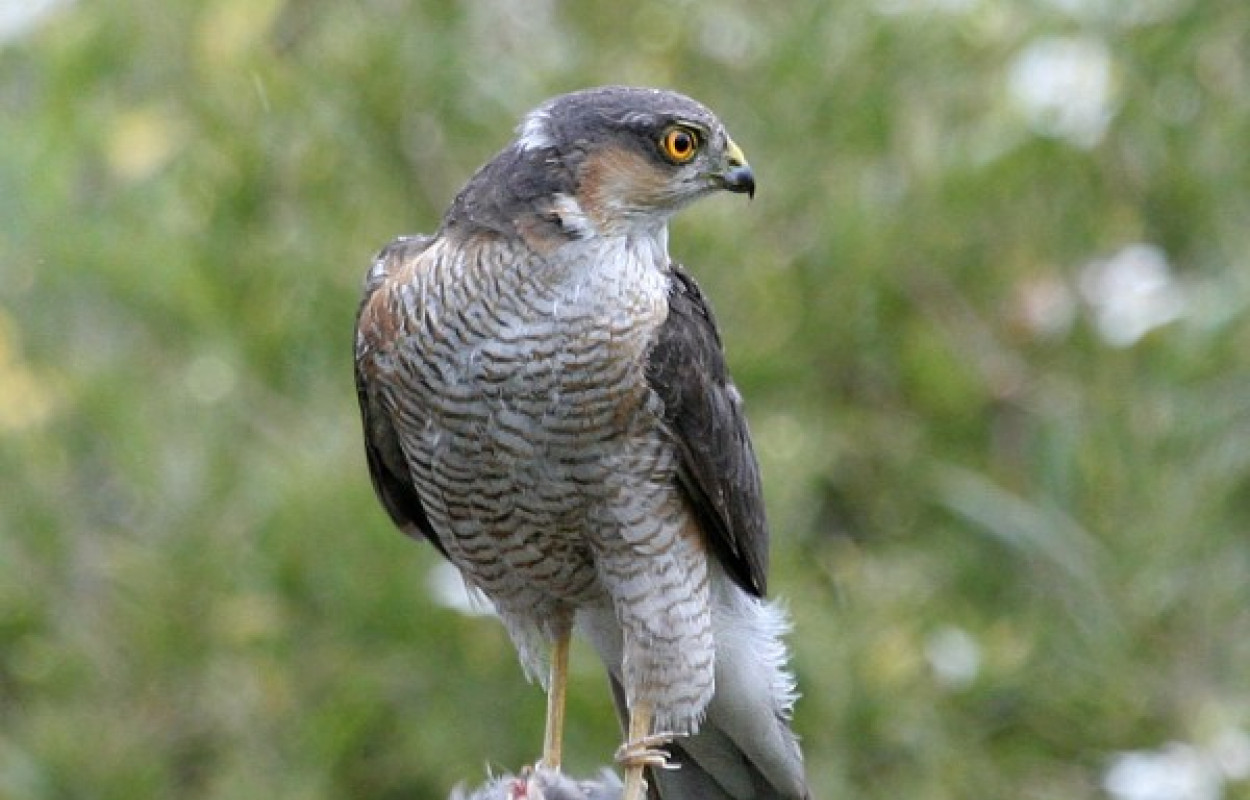Sparrowhawk by Richard Winston