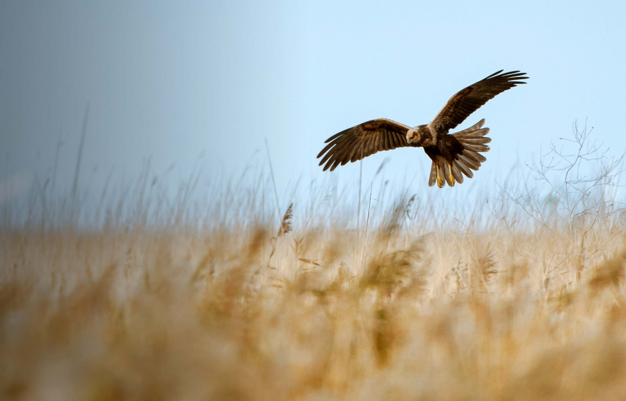 Marsh Harrier. Sarah Kelman