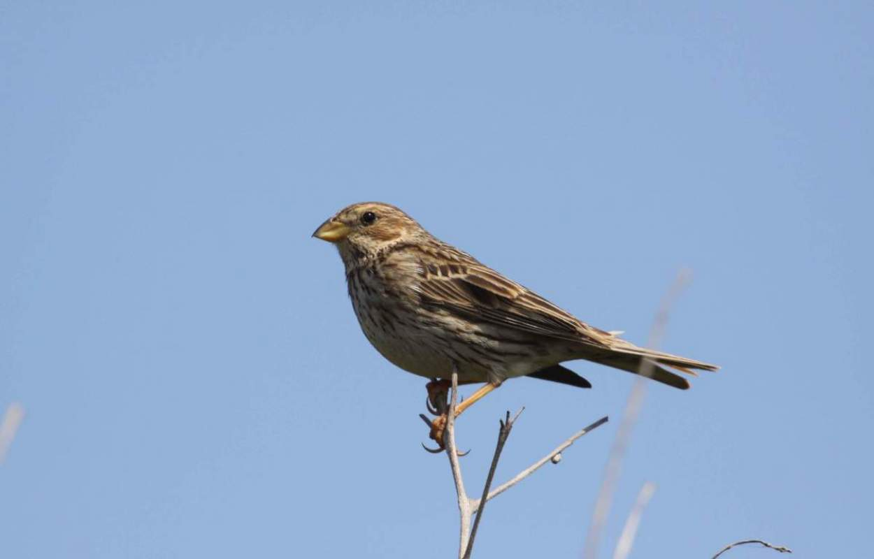 Corn Bunting by Mark R Taylor