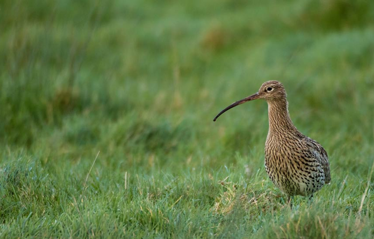 Curlew. Tom Streeter
