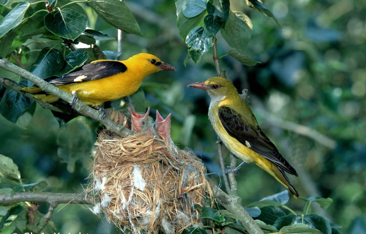 Golden Oriole - Chris Knights