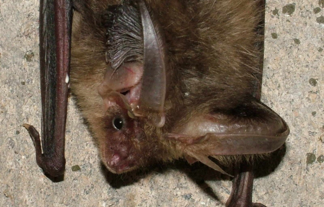 Long-eared Bat, photograph by Jez Blackburn
