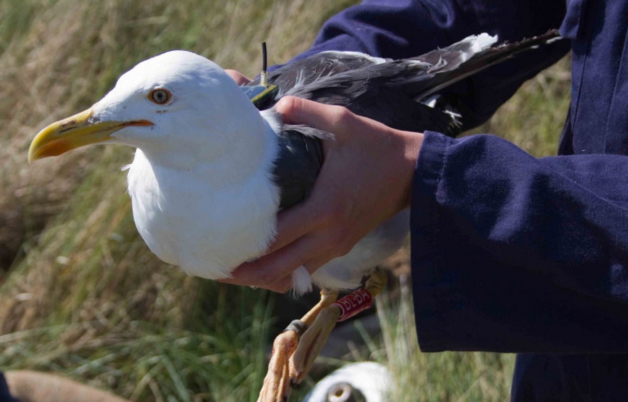 Tagged Lesser black-backed Gull