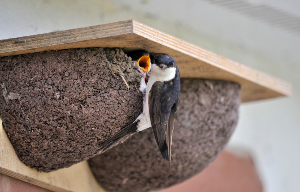 House Martin at nest, Doug Welch