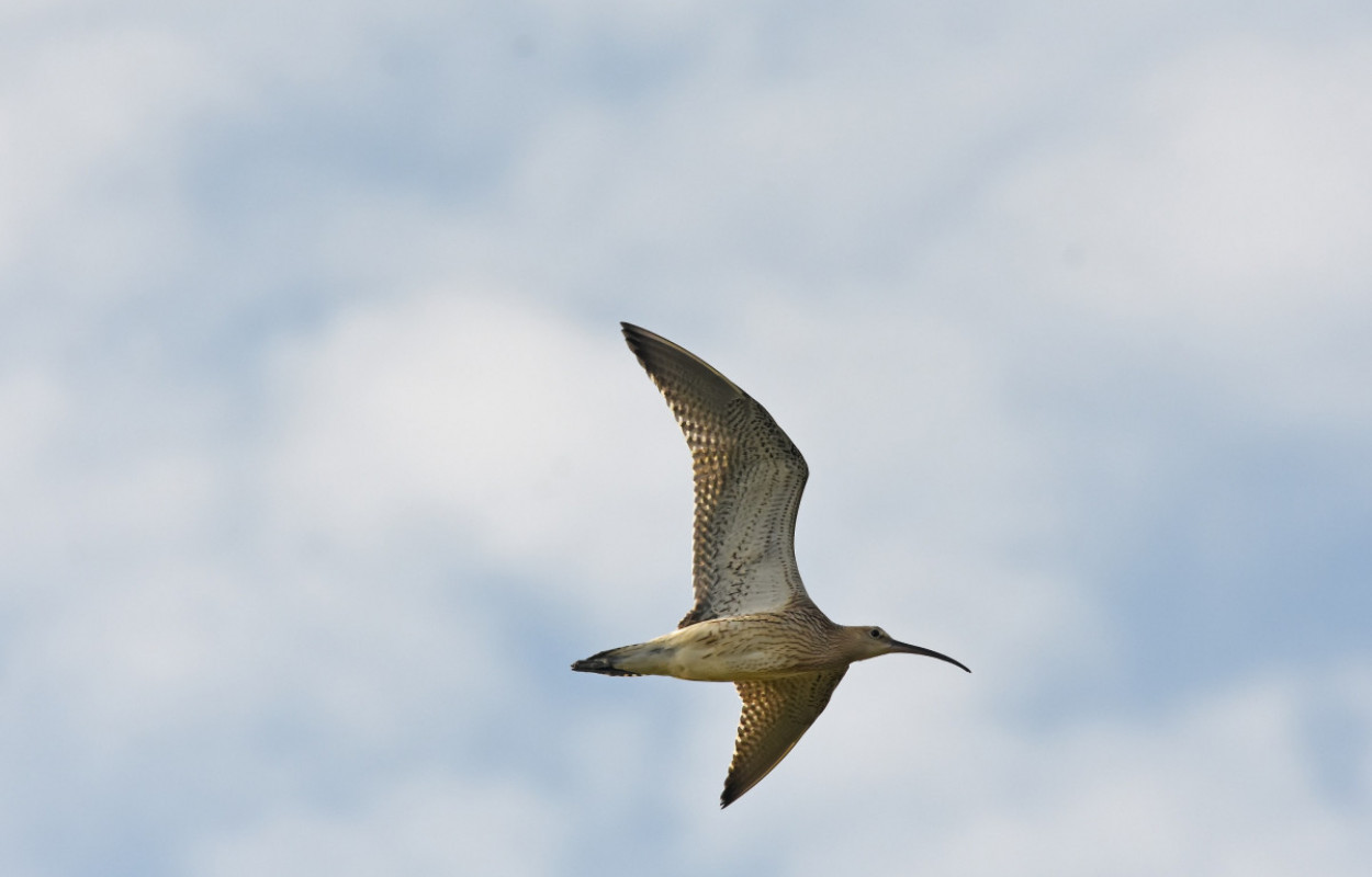 Curlew. Moss Taylor
