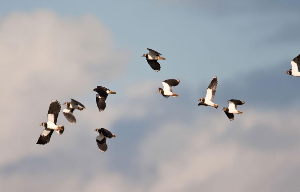 Lapwing in flight. Allan Drewitt