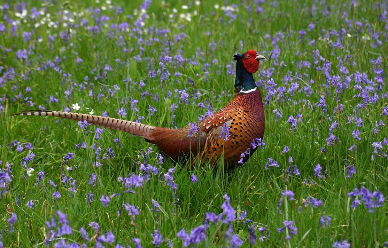 Pheasant. Jill Pakenham.